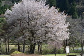 鬼怒川レジャー公園の桜