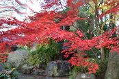 日本庭園の紅葉(12/1)4
