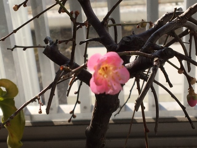 ウメ?が咲きました。