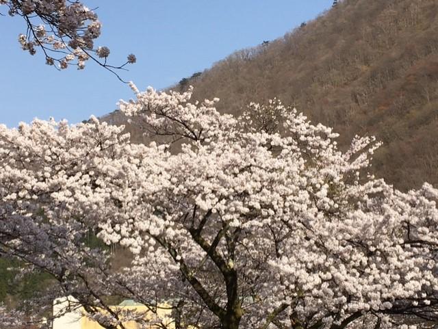 鬼怒川温泉「護国寺」のさくら
